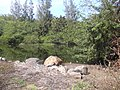 Starr-040125-0180-Schinus terebinthifolius-habit in wetland-Kanaha Beach-Maui (24671321606).jpg