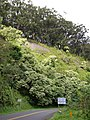 Starr-050107-2924-Aleurites moluccana-habit-Hana Hwy-Maui (24616306532).jpg