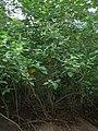 Starr-050418-0143-Solanum torvum-habitat-Kailua-Oahu (24627593992).jpg