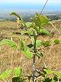 Starr-050817-3859-Rubus niveus-form a habit-Keahuaiwi Gulch-Maui (24434637409).jpg