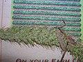 Starr-060305-6585-Setaria verticillata-voucher 060228 11-Moku Manu-Oahu (24230005954).jpg