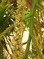 Starr-060922-9186-Chrysalidocarpus lutescens-flowers-DLNR baseyard Kahului-Maui (24839537626).jpg