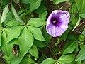 Starr-061106-1446-Ipomoea cairica-leaves and flowers-Maui Nui Botanical Garden-Maui (24868369085).jpg