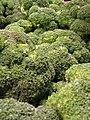 Starr-070730-7889-Brassica oleracea var botrytis-florets-Foodland Pukalani-Maui (24262387814).jpg