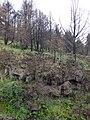 Starr-070908-9378-Rubus niveus-form b regrowth in fire area-Polipoli-Maui (24893125505).jpg