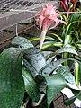 Starr-080103-1395-Aechmea fasciata-flowering habit-Lowes Garden Center Kahului-Maui (24873406206).jpg
