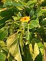 Starr-080208-2437-Cordia subcordata-flower and leaves-Honokanaia-Kahoolawe (24608002760).jpg