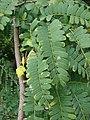 Starr-080608-7478-Tamarindus indica-leaves-Citrus grove Sand Island-Midway Atoll (24289451753).jpg