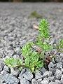 Starr-090401-5507-Veronica arvensis-habit-Olinda-Maui (24324097393).jpg
