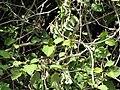 Starr-090609-0384-Solanum torvum-leaves-Haiku-Maui (24869989041).jpg