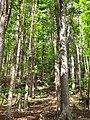 Starr-090714-2834-Swietenia macrophylla-habit-Honokahau Valley-Maui (24874903851).jpg