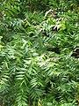 Starr-090720-3108-Azadirachta indica-leaves-Waiehu-Maui (24343406473).jpg