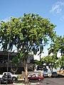 Starr-090818-4468-Pterocarpus indicus-habit-Kihei-Maui (24972521035).jpg