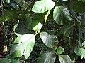 Starr-110330-3968-Tectona grandis-leaves-Garden of Eden Keanae-Maui (24454150203).jpg