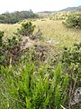 Starr-110705-6558-Erica lusitanica-flowering habit-Waiale Gulch-Maui (24730259189).jpg