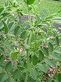 Starr-120415-4652-Cicer arietinum-glandular stems and leaves-Hawea Pl Olinda-Maui (24771741569).jpg