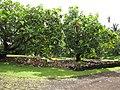 Starr-120606-6791-Artocarpus altilis-grove-Kahanu Garden NTBG Hana-Maui (25051066821).jpg