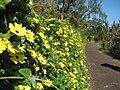 Starr-130313-1744-Thunbergia alata-Cv Sundance flowering habit-Enchanting Floral Gardens of Kula-Maui (25181128456).jpg