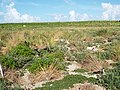 Starr-130915-1665-Solanum americanum-habit-Hardpan SW Inland-Laysan (25225494335).jpg