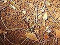 Starr-140909-1775-Clidemia hirta-Megalagrion blackburni on ground-Wailua-Maui (24950290930).jpg