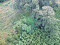 Starr-141014-5112-Caesalpinia decapetala-aerial view-Kakipi Gulch Haiku-Maui (25129190552).jpg