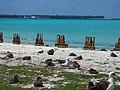 Starr-150328-0913-Coronopus didymus-Laysan Albatrosses and rusty riprap-Northeast Coast Eastern Island-Midway Atoll (24901769329).jpg