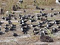 Starr-150403-0291-Brassica juncea-Sooty Terns and Laysan Albatrosses-Southeast Eastern Island-Midway Atoll (24908460369).jpg