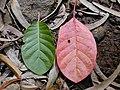 Starr 020501-0038 Cinchona pubescens.jpg