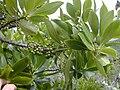 Starr 020622-0040 Myrsine lessertiana.jpg