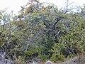 Starr 020911-0022 Coprosma montana.jpg