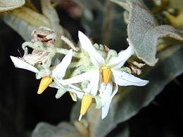 Starr 020913-0042 Solanum robustum