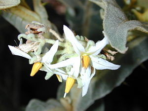 Solanum - Shrubby nightshade (S. robustum) flowers