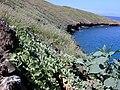 Starr 021108-0056 Jacquemontia ovalifolia subsp. sandwicensis.jpg