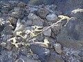 Starr 030716-0175 Tribulus cistoides.jpg