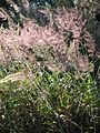 Starr 041219-1576 Melinis minutiflora.jpg