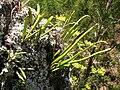 Starr 050817-3897 Lepisorus thunbergianus.jpg