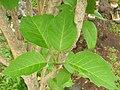 Starr 060325-6772 Nothocestrum latifolium.jpg