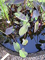 Starr 061108-9780 Colocasia esculenta.jpg