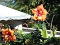 Starr 061223-2729 Hibiscus rosa-sinensis.jpg