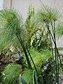Starr 070221-4773 Cyperus papyrus.jpg