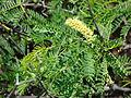 Starr 070404-6602 Prosopis juliflora.jpg