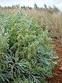 Starr 081230-0622 Artemisia australis.jpg