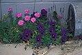 Starr 980630-1516 Viola sp..jpg