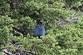 Stellers Jay (Cyanocitta Stelleri) (9360446666).jpg