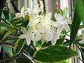 Stephanotis floribunda variegata 21.JPG