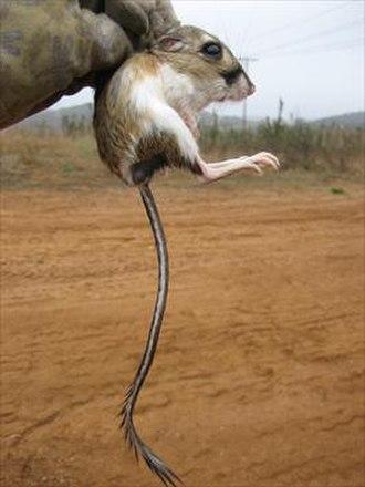 Stephens's kangaroo rat - Image: Stephens' kangaroo rat