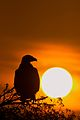 Steppe Eagle at sunrise.jpg