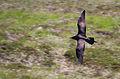 Stercorarius parasiticus flying, Handa.jpg