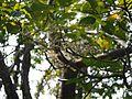 Sterculia guttata Roxb. (16260237236).jpg