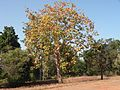 Sterculia urens central India AJT Johnsingh DSCN0634.JPG